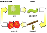 Butterfly life cycle icon