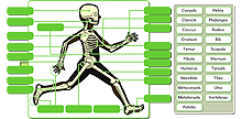 Human skeleton - advanced icon