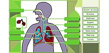 Respiratory system icon